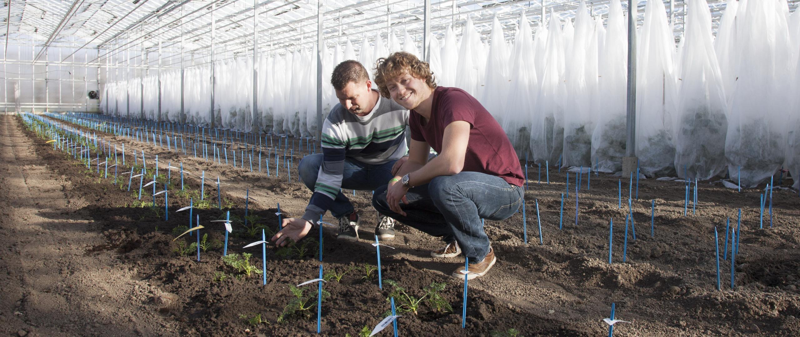 Rijk Zwaan colleagues working in carrot selection