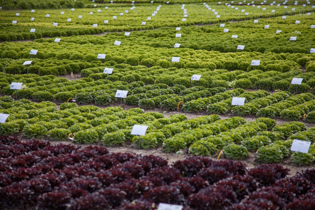 Demo field Fijnaart lettuce section